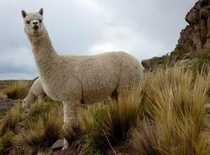 Альпака (Lama Pacos)