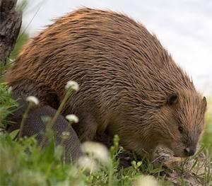 Канадский бобр (лат. Castor canadensis, eng. Canadian beaver)
