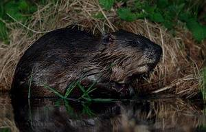 Евразийский речной бобр или бобр обыкновенный (лат. Castor fiber, eng. beaver)