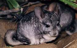 Шиншиллы (лат. Chinchilla)