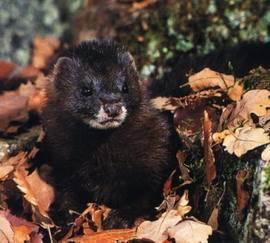 Европейская норка (лат. Mustela lutreola, Eng. European mink) — хищное млекопитающее из семейства куньих