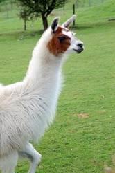 Лама, или тибетская овца (Lama glama)